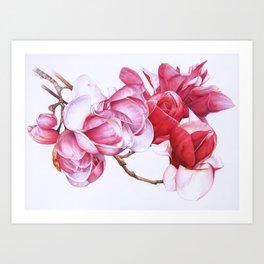Magnolias Botanical Art Print