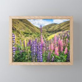 Colorful fields of lupines blooming in December in NZ Framed Mini Art Print