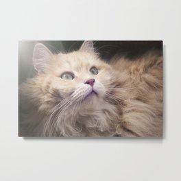 Portrait of an adult Siberian cat. Metal Print