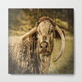 Vintage Longhorn Cattle Metal Print