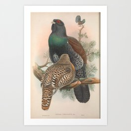 005 Western Capercaillie tetrao urogallus4 Art Print