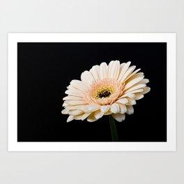 Peach Gerbera Daisy On Black Art Print