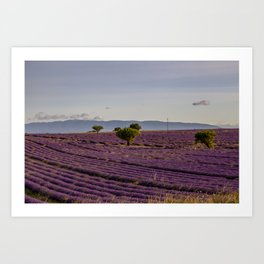 Lavender Fields In Provence South Of France Art Print