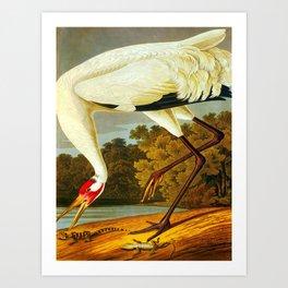 Hooping Crane John James Audubon Birds Of America Scientific Illustration Art Print