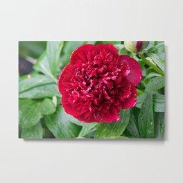 Red Peony Flower Metal Print