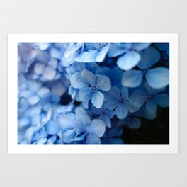 Beautiful Blue Hydrangeas Art Print