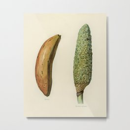 Vintage illustration of banana, monstera deliciosa  The Fruit Grower's Guide (1891) by John Wright. Metal Print
