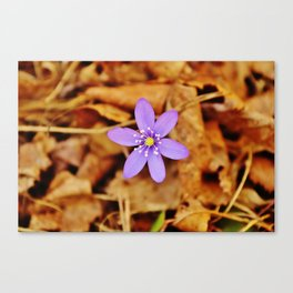Liverwort flower Canvas Print
