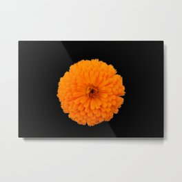 marigold flower on black background Metal Print