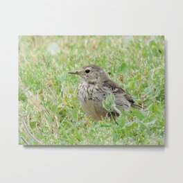 Pipit on the Lawn Metal Print
