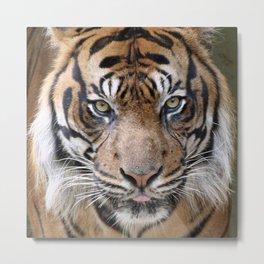 Tiger_2015_0624 Metal Print