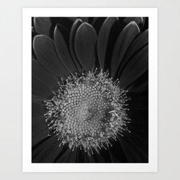 Black and White Gerbera Daisy Art Print
