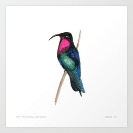 Purple-throated Carib Art Print