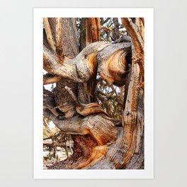 Bristlecone 5 Art Print