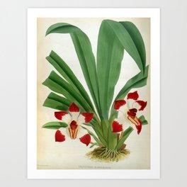Pescatorea Klabochurum Lindenia Orchid Art Print