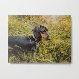 Dog Dachshund Walk on a Sunny day Metal Print