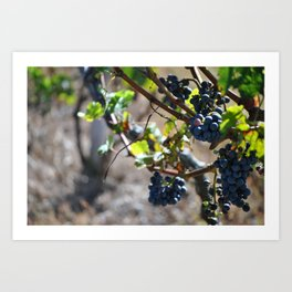 Grapes on the Vine. Art Print