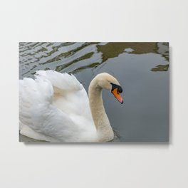 Close up of mute swan Metal Print