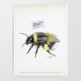 White-tailed bumblebee, poster #2 Poster