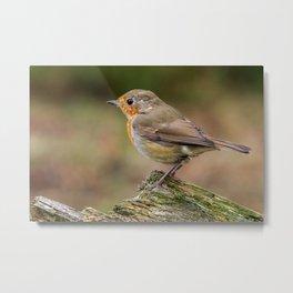 close up red robin birds Metal Print