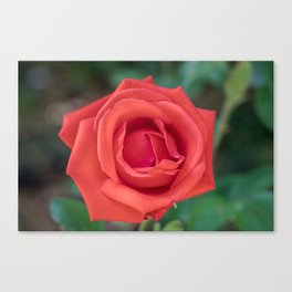 Red Rose Close Up Canvas Print