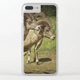 Bighorn Sheep along a Roadside in the Black Hills Clear iPhone Case