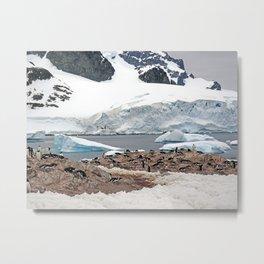 Gentoo Penguin Colony Metal Print