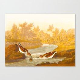 Little Sandpiper Bird Canvas Print