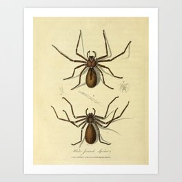"""""""White-Jointed Spider"""" by Sarah Stone, 1790 Art Print"""