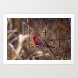 Cardinal - Bright Red Male Bird Rests in Raindrops Art Print