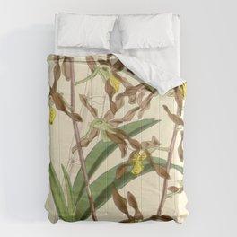 Dendrobium johannis Comforters