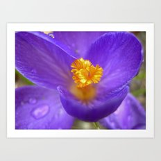 crocus bloom macro IV Art Print