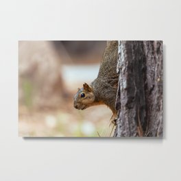 fox squirrel (Sciurus niger) Metal Print
