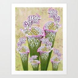 Sarracenia leucophylla Art Print