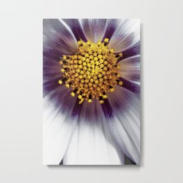Cosmos bipinnatus blossom and it's reproductive structures are captured in an extreme macro image Metal Print