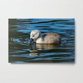 Mute Swan Cygnet Metal Print