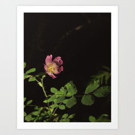 Wild Rose in the Dark Art Print
