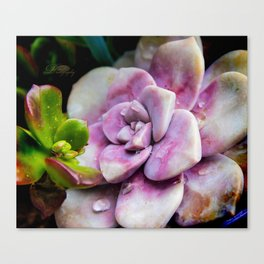 Wet succulents Canvas Print