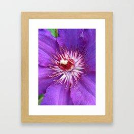 Purple Splash (Clematis) Framed Art Print