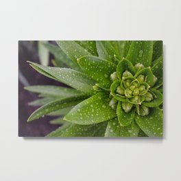 Asian Lily Plant After Rain Metal Print
