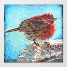 Shivering House Finch Canvas Print