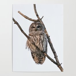 Barred Owl visitor on New Years Eve Poster
