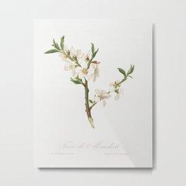 Almond tree flower (Prunus dulcis) from Pomona Italiana (1817 - 1839) by Giorgio Gallesio (1772-1839) Metal Print