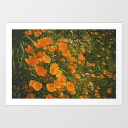 California Poppies 004 Art Print