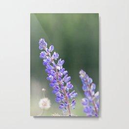 Lupines and dandelions Metal Print