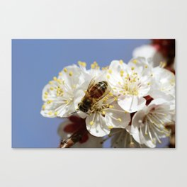 Bee Visiting An Apricot Blossom 5 Canvas Print