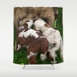 Twin Lambs Suckling From Their Mother Shower Curtain