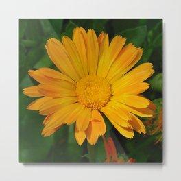 Pale Orange Marigold Flower With Garden Background  Metal Print