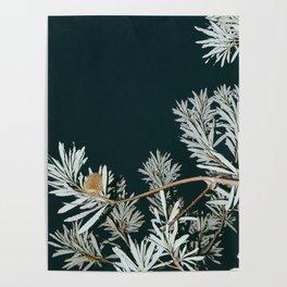 Banksia - Australian Honeysuckle Poster