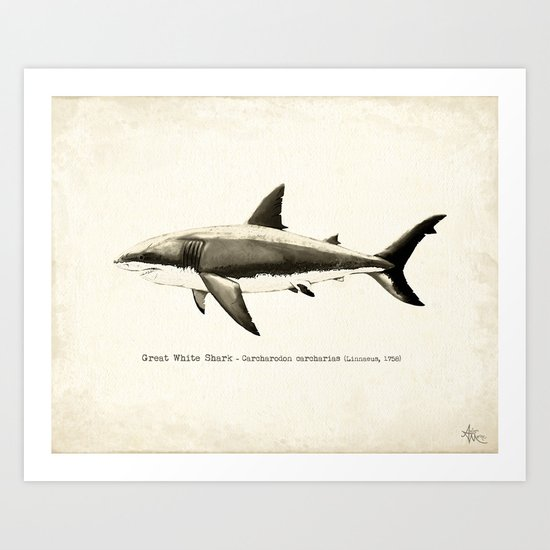 """Carcharodon carcharias II"" by Amber Marine  ~ Great White Shark Illustration, (c) 2015 Art Print"